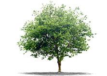 Frutta paginebianche for Nomi di alberi sempreverdi